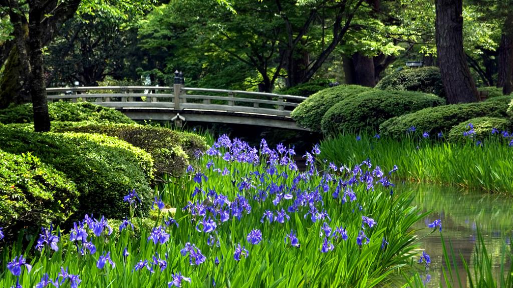 The Flower Viewing Bridge of Kenrokuen Garden Park, over looking irises in summer