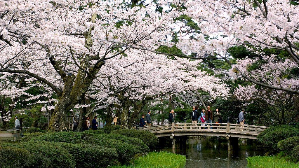 the flower viewing bridge at kenrokuen garden park during sakura season in kanazawa