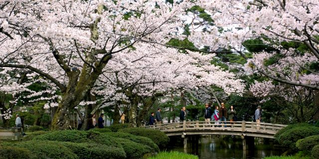 the flower viewing bridge at kenrokuen garden park during sakura season in kanazawa