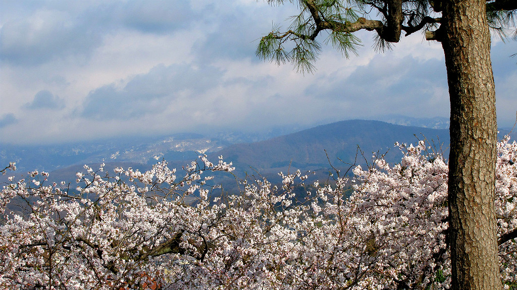 The springtime panorama at Kenrokuen includes sakura, cherry blossoms
