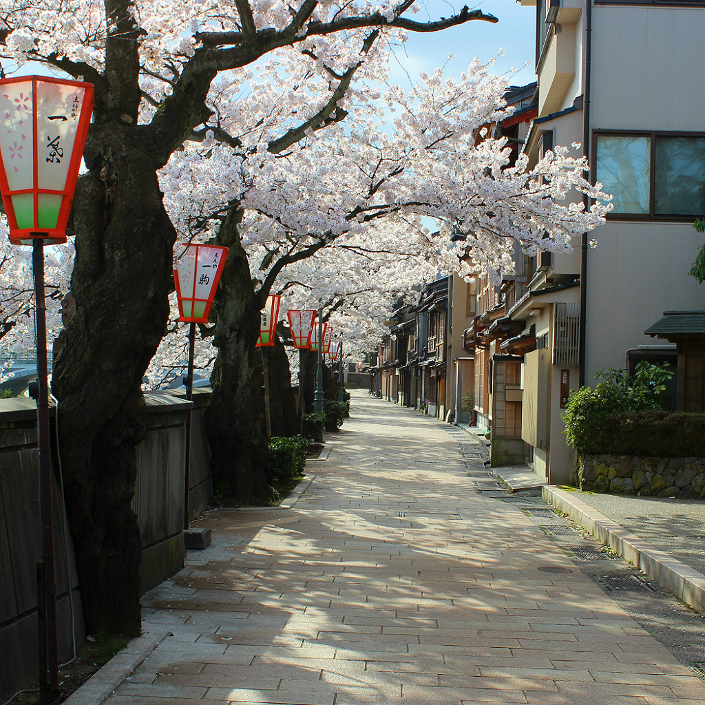 Sakura Cherry Blossoms along the riverside at Kazuemachi geisha district in Kanazawa