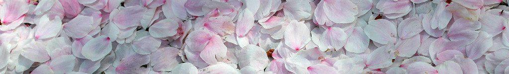 Fallen Sakura Petals