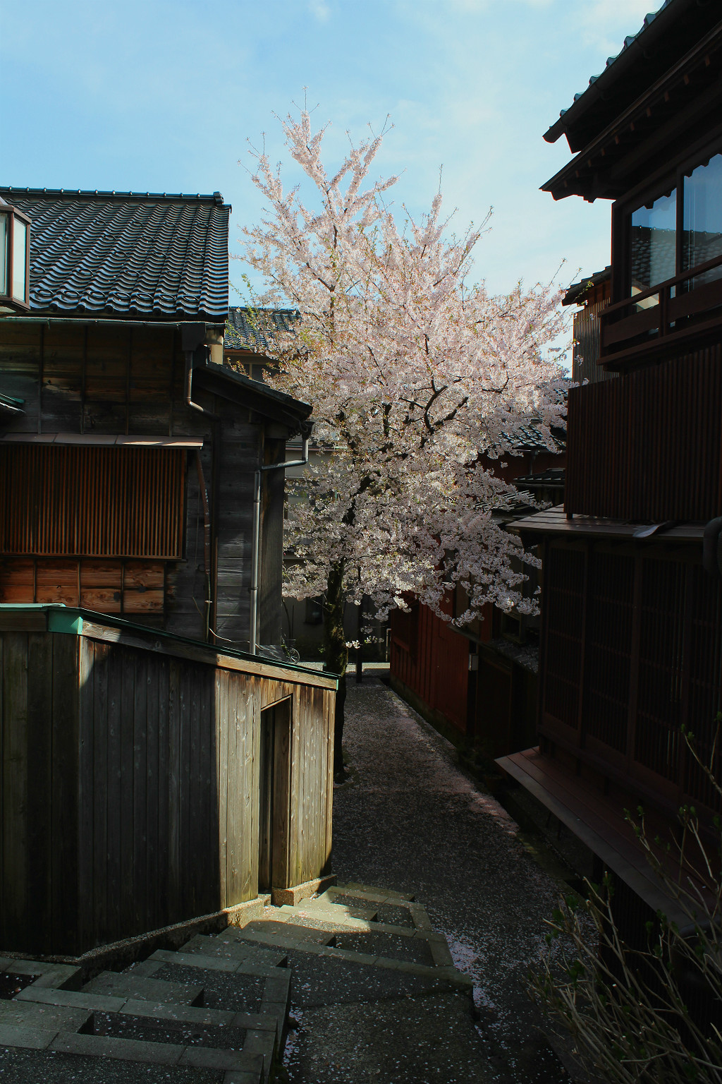 The lone sakura cherry in Kuragari-zaka, the Dark Slope, in Kazuemachi, Kanazawa