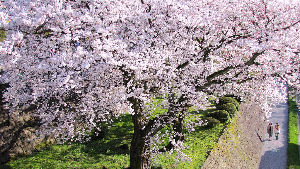 Cherry Blossoms between Kenrokuen Garden and Kanazawa Castle Park