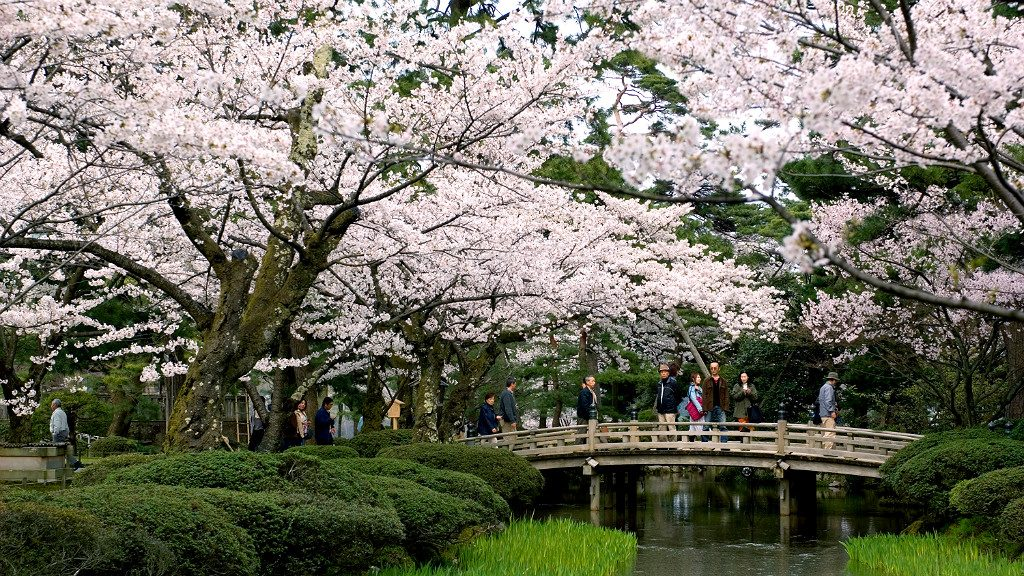 Sakura Trees around the Flower Viewing Bridge