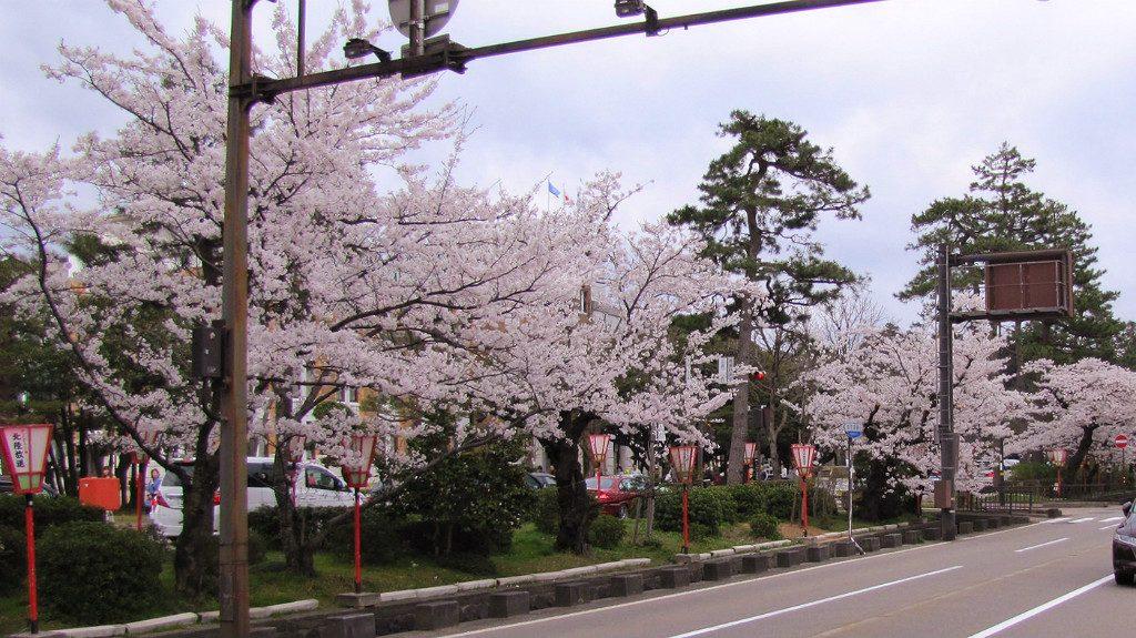 Hirosaka Cherry Trees in Kanazawa