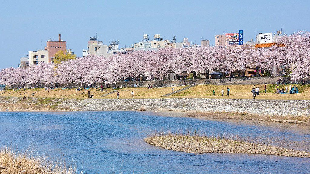 Sakura Trees Along the Saigawa in Kanazawa