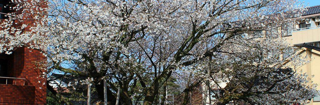 The massive Great Cherry of Shogetsuji Temple in Teramachi Kanazawa