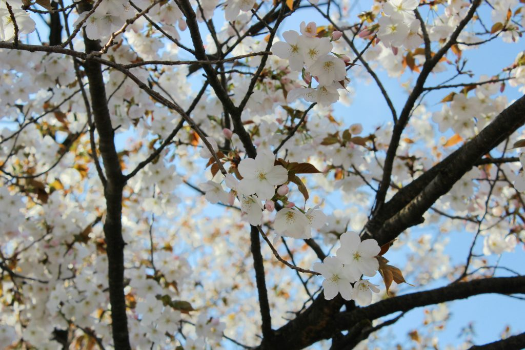 Yamazakura blossoms, the flowers of the mountain cherry variety