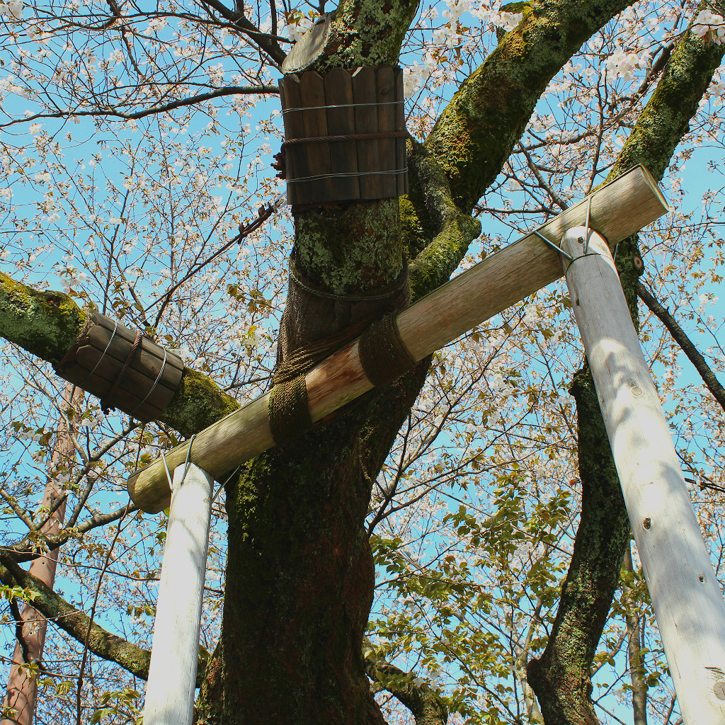 Despite it's sprawling growth pattern, the tree is carefully protected from snow and gravity.