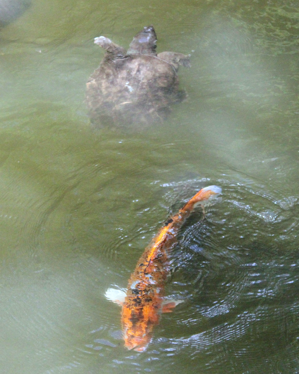 Turtle and koi in the shirne pond at Oyama Shrine in Kanazawa, Japan
