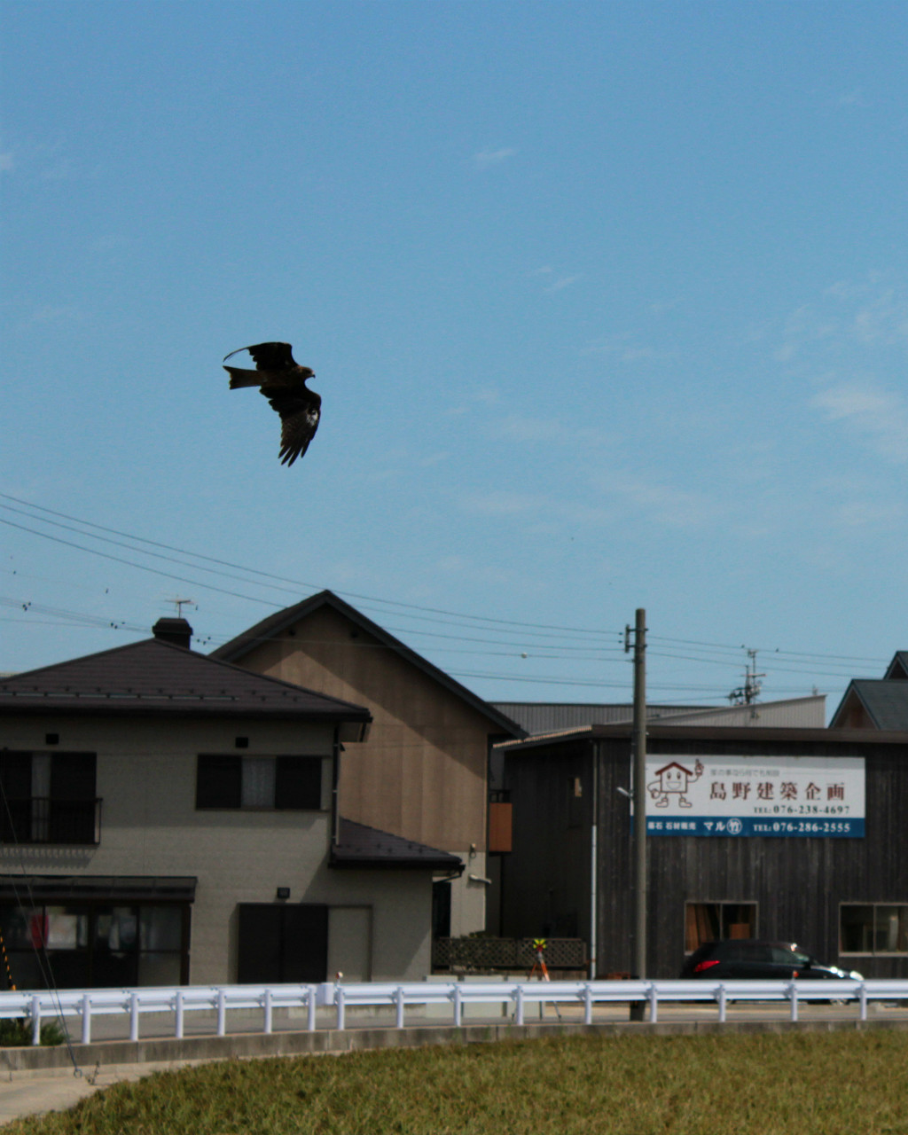 Uchinada's official bird, the East Marsh Harrier Hawk, flying over rice fields in Uchinada, Japan