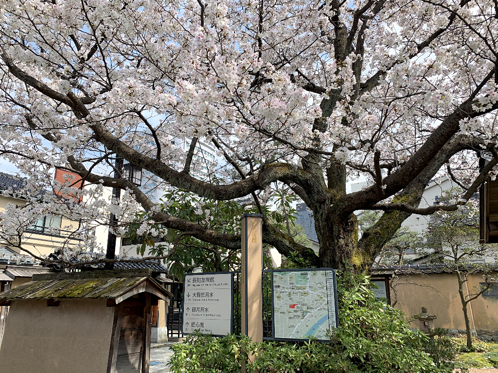 A large sakura tree blooms in the small public park in the western area of Kanazawa's Samurai District.