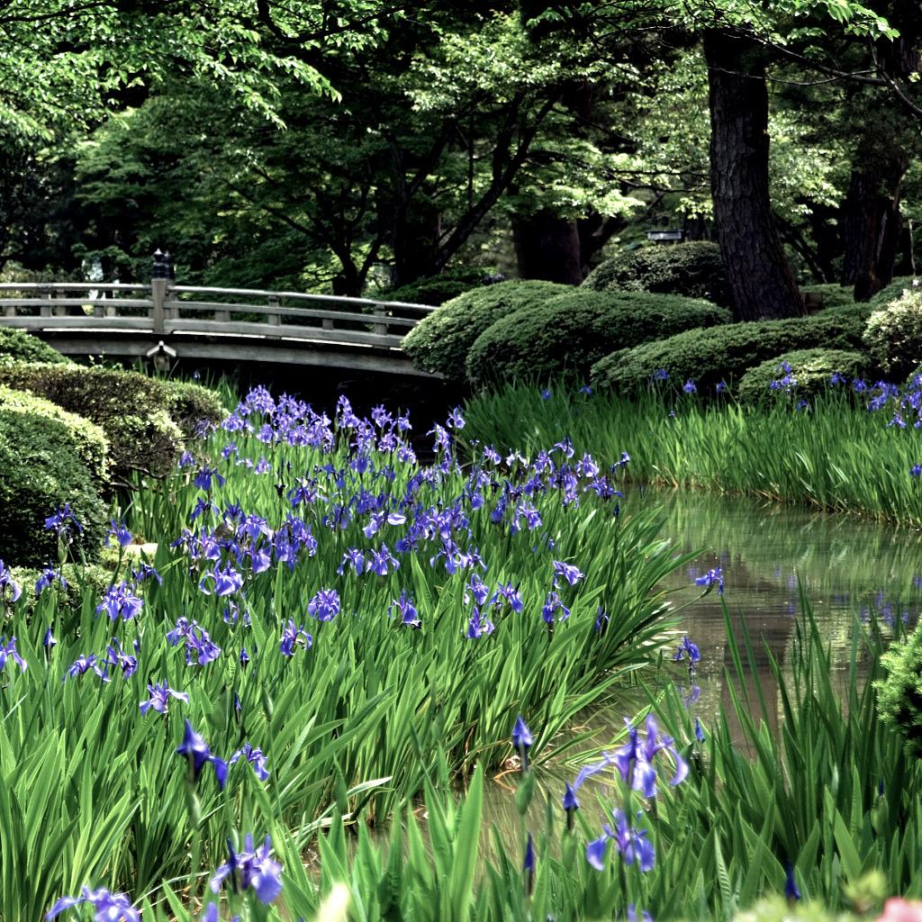 irises under the flower viewing bridge at Kenrokuen Garden in Kanazawa