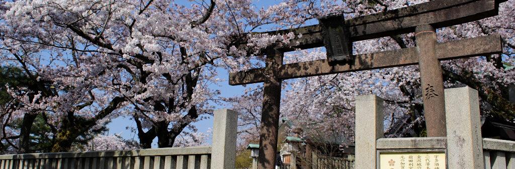 The sakura-framed side entrance to Utasu Shrine, facing the Higashi Chaya Geisha District in Kanazawa.