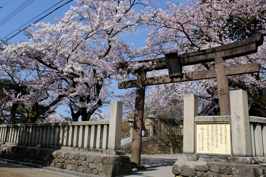 The sakura-framed side entrance to Utasu Shrine, facing the Higashi Chaya Geisha District in Kanazawa.