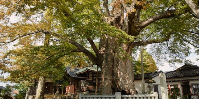 Jinmyou-gu, Keyaki tree