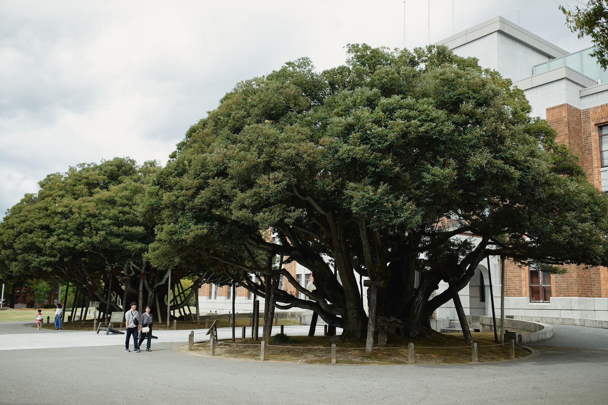 Shinoki culture complex, tree