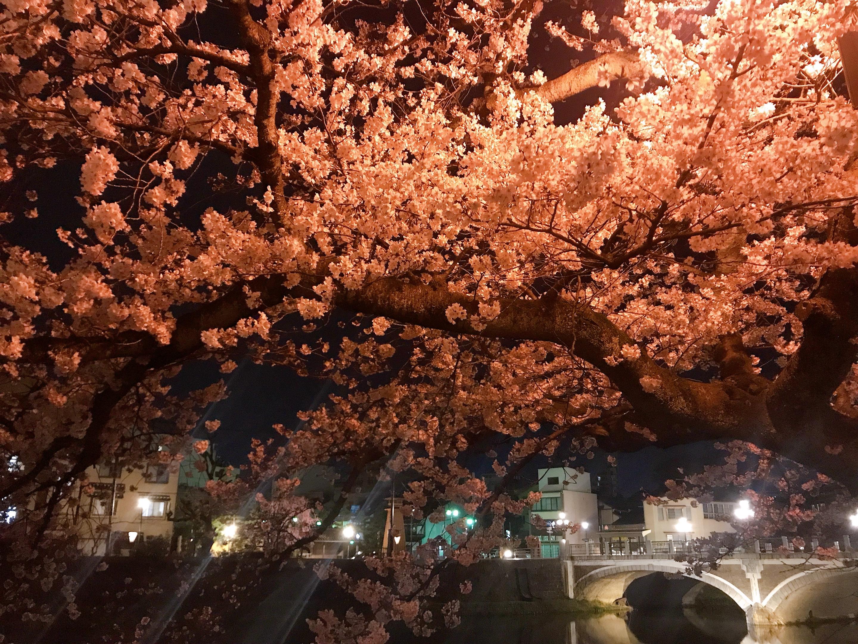 Sakura just before their peak in Kazue-machi, Kanazawa; photo by Ayumi